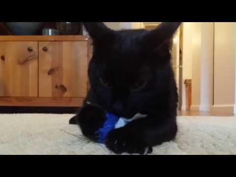 JAZZ SCAT BLACK CAT:  Funny Vine of Cute Cat Kwazi and his Feather Toys