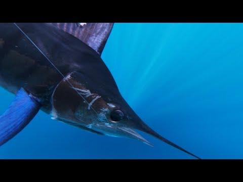 Marlin Fishing Cabo San Lucas November 2019 Minerva III, RenegadeMike, FinAddict