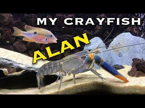 Australian Red Clawed Crayfish - Alan
