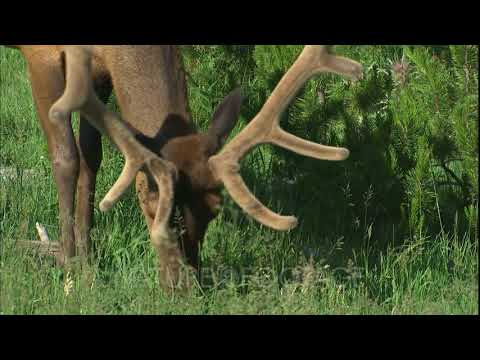 Male Elk Grazes In Yellowstone