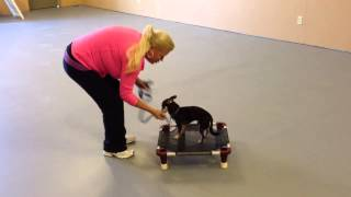 "Training ""paco"" The Chihuahua In Reno, Nevada With Katz Tra"