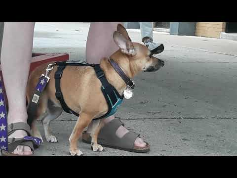Chihuahua And Dachshund Mix/Chiweenie Is ALERT