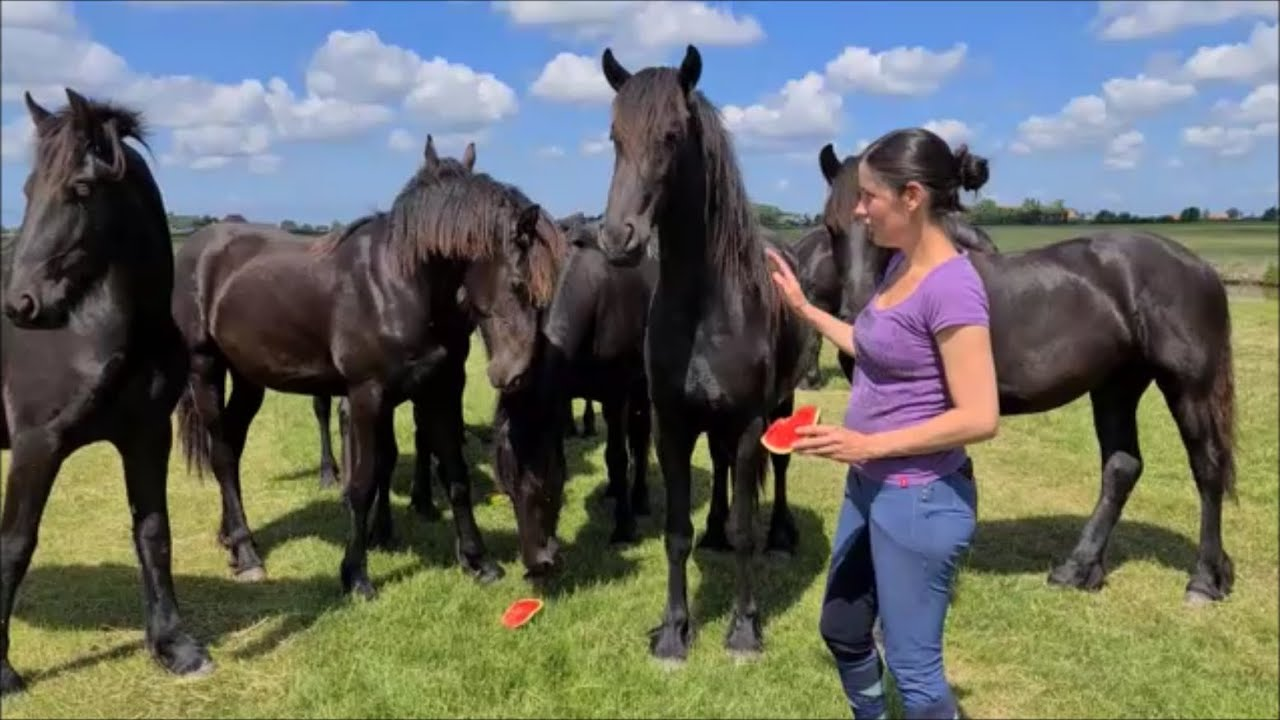 Let's eat watermelon with the Friesian horses!
