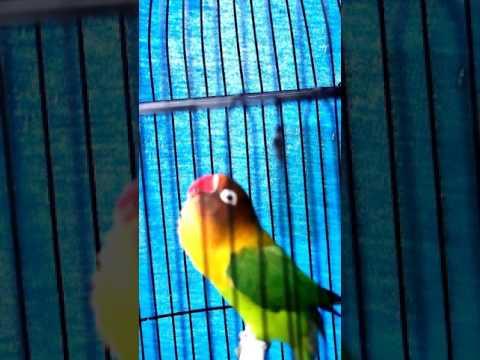 Pancingan Lovebird Biar Ngekek Panjang 1 menit