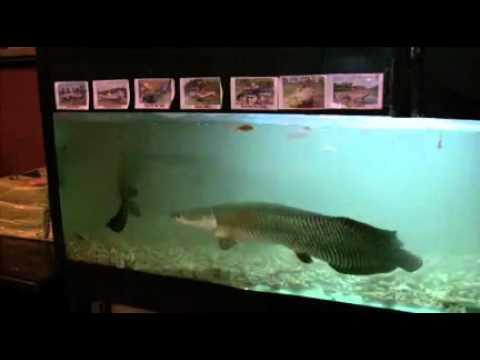 Amazone Monster Fish In Big Aquarium 2