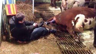 Breech Delivery on overdue cow