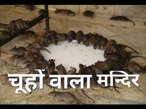 Temple of Rat's(Karni Mata Mandir)(Hindi)-करनी माँ का चूहों का मंदिर-Planet Earth INDIA