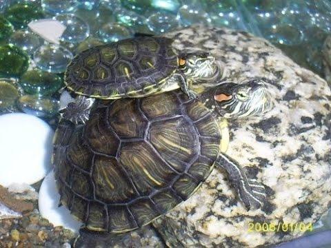 Tortuga japonesa orejas rojas trachemys scripta elegans for Peceras para tortugas
