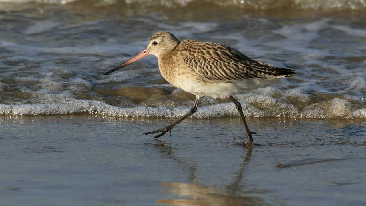 Fotoshow Strandvogels Katwijk aan Zee in 1080p
