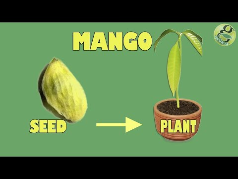 Mango seed Germination - Easily grow Mango Tree from Seed - with Time Lapse and Result