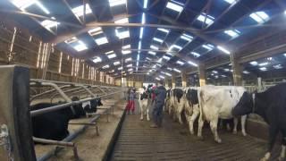 On fait marcher la vache !