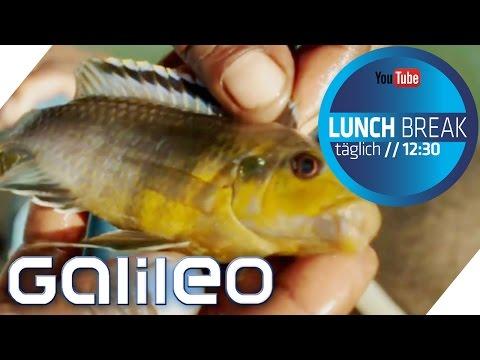 Malawi Buntbarsche: Der Weg der Aquariumfische | Galileo Lunch Break