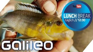 Malawi Buntbarsche: Der Weg der Aquariumfische | Galileo Lunch Break
