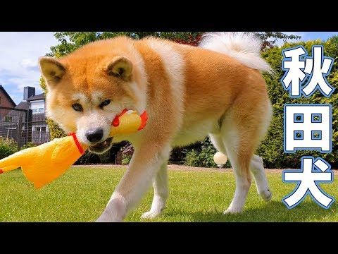 AKITA INU - Reacting To A Crazy Chicken | 秋田犬