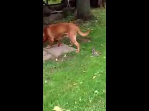 Dogue De Bordeaux and his Squirrel friend