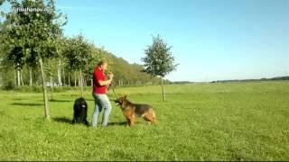 Обучаем собаку командам «стоять, сидеть, лежать» в комплексе | Урок 12 видеокурса «Растем вместе»