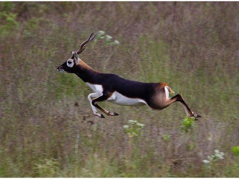 Blackbuck: Fastest running Indian animal