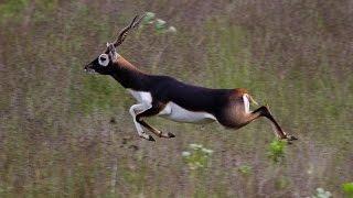 Blackbuck : Fastest running Indian animal
