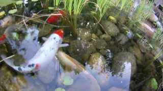 Backyard Pond - Koi, Honey Bees, Aquatic Plants, Waterfalls