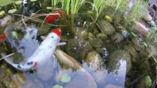Backyard Pond - Koi, Honey Bees, Aquatic Plants, Waterfalls