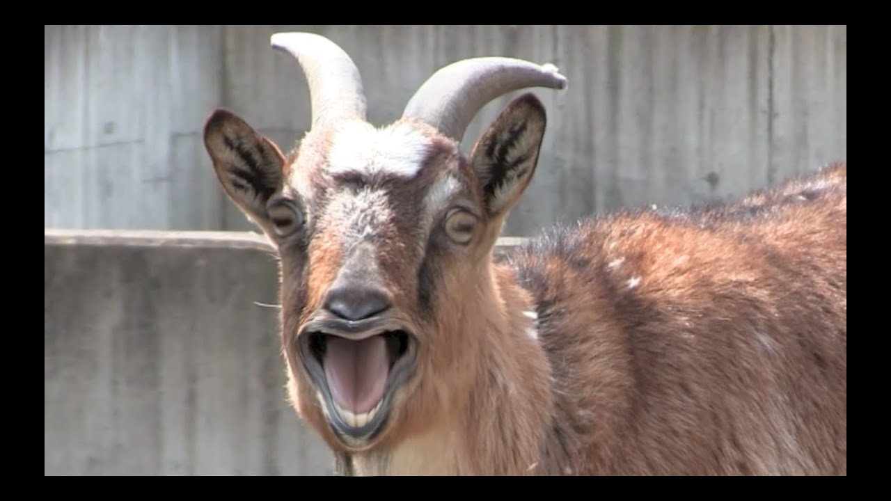Funny Pictures Of Goats Funny Goats Vid...