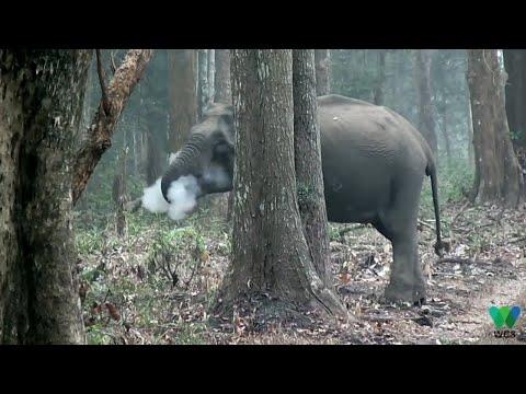 'Smoke-breathing' elephant stumps scientists
