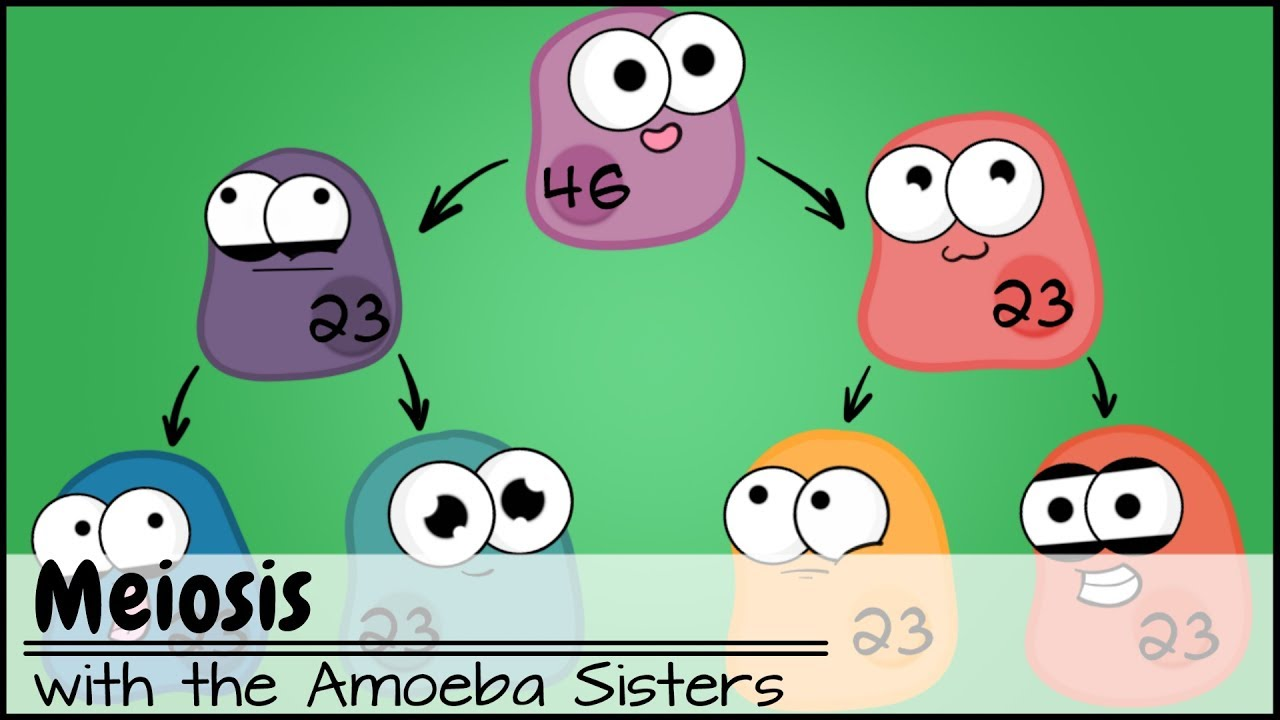 hight resolution of Meiosis (Updated) - YouTube