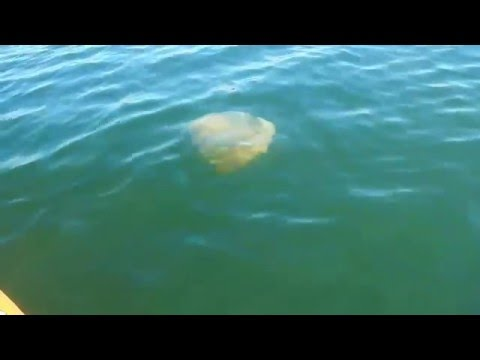 Jellyfish in San Diego bay