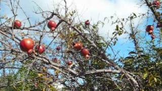 Growing Pomegranates--unlocking the food