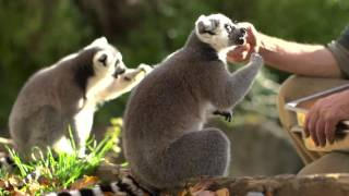 Lunch with Lemurs at Woodland Park Zoo