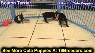 Boston Terrier, Puppies, For, Sale, In, Newark, New Jersey, Nj, Woodbridge, Iselin, Pleasantville, R