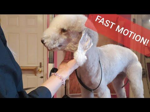 Grooming a Bedlington Terrier Head- FAST MOTION!