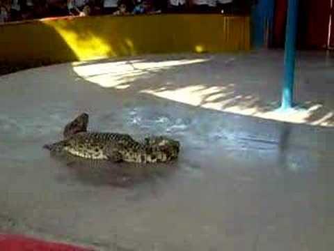 xjếc cá sấu