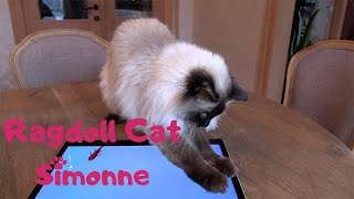 Ragdoll Cat playing funny video catgames !