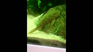 Chaetostoma Thomsoni - L187b Striped Bulldog Pleco - Bulldogmalle