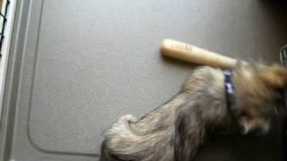 ノーリッチテリア(norwichterrier)のあたまるくんが棒遊び。噛むと檜...