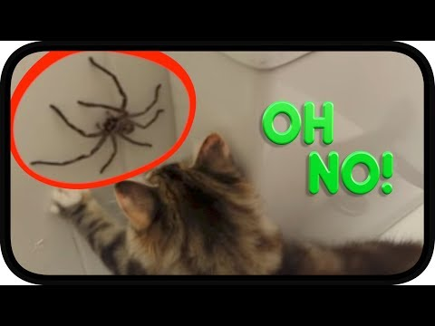 Huntsman Spider vs TWISTED Kittens