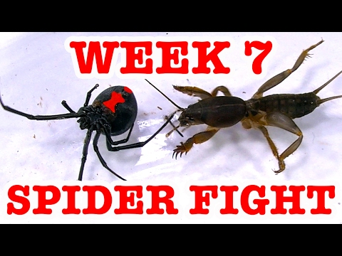 Redback Spider Home Week 7 Devil Bug 1 To 1 Spider Fight To Death (Graphic Video)