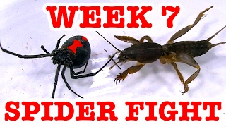 Redback Spider Home Week 7 Devil Bug 1 To 1 Spider Fight To Death (Graphic Video) thumbnail
