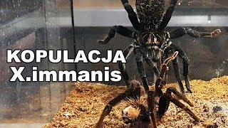 Baixar WIELKIE PAJĄKI! Xenesthis immanis - dopuszczanie dwóch samic - spidersonline.pl