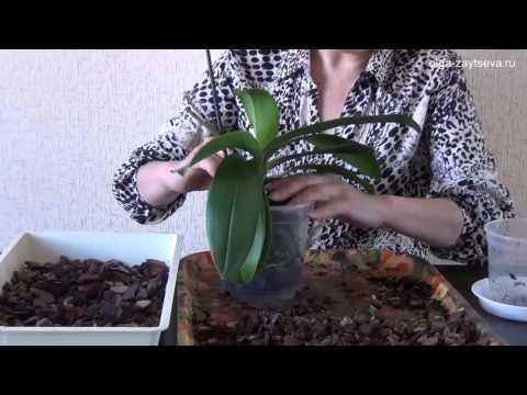 Пересадка орхидеи фаленопсис в больший горшок