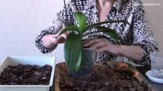 Пересадка орхидеи фаленопсис в больший горшок(О пересадке взрослой орхидеи фаленопсис. JOIN QUIZGROUP PARTNER PROGRAM: http://join.quizgroup.com/?ref=33199., 2014-11-07T16:56:22.000Z)