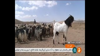 Iran Arzhenaki new Goat race, Chaharmahal & Bakhtiari province پرورش نژاد جديد بز بنام ارژنكي ايران