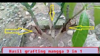 3 jenis mangga dalam 1 pohon || Sukses..!!