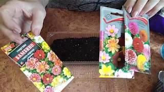 Однолетние георгины. Посев семян.
