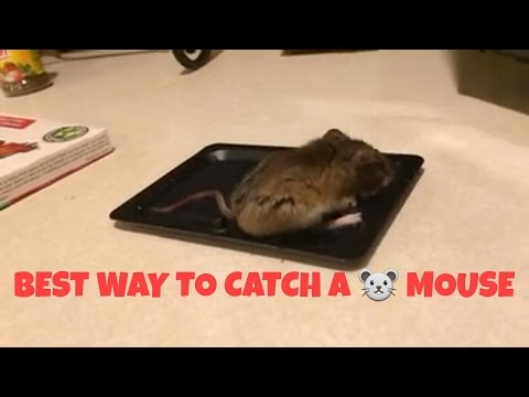 how to catch mice youtube. Black Bedroom Furniture Sets. Home Design Ideas