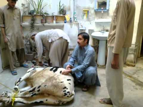 qurbani in hassanabdal by haroon