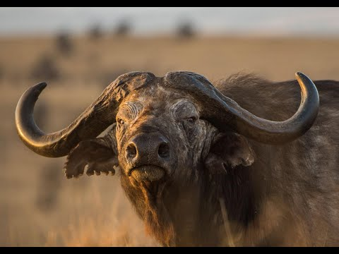 African Buffalo Hunting in the Caprivi. Buffalo Hunting at it's best!