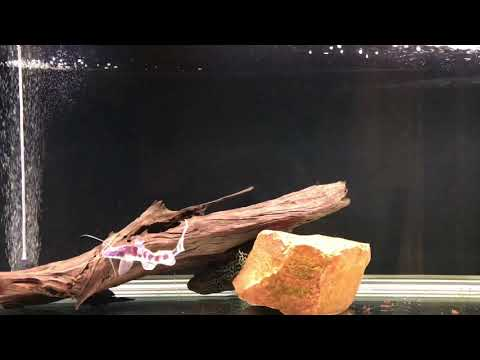 Tigrinus Catfish And One Month Of Growth Rate