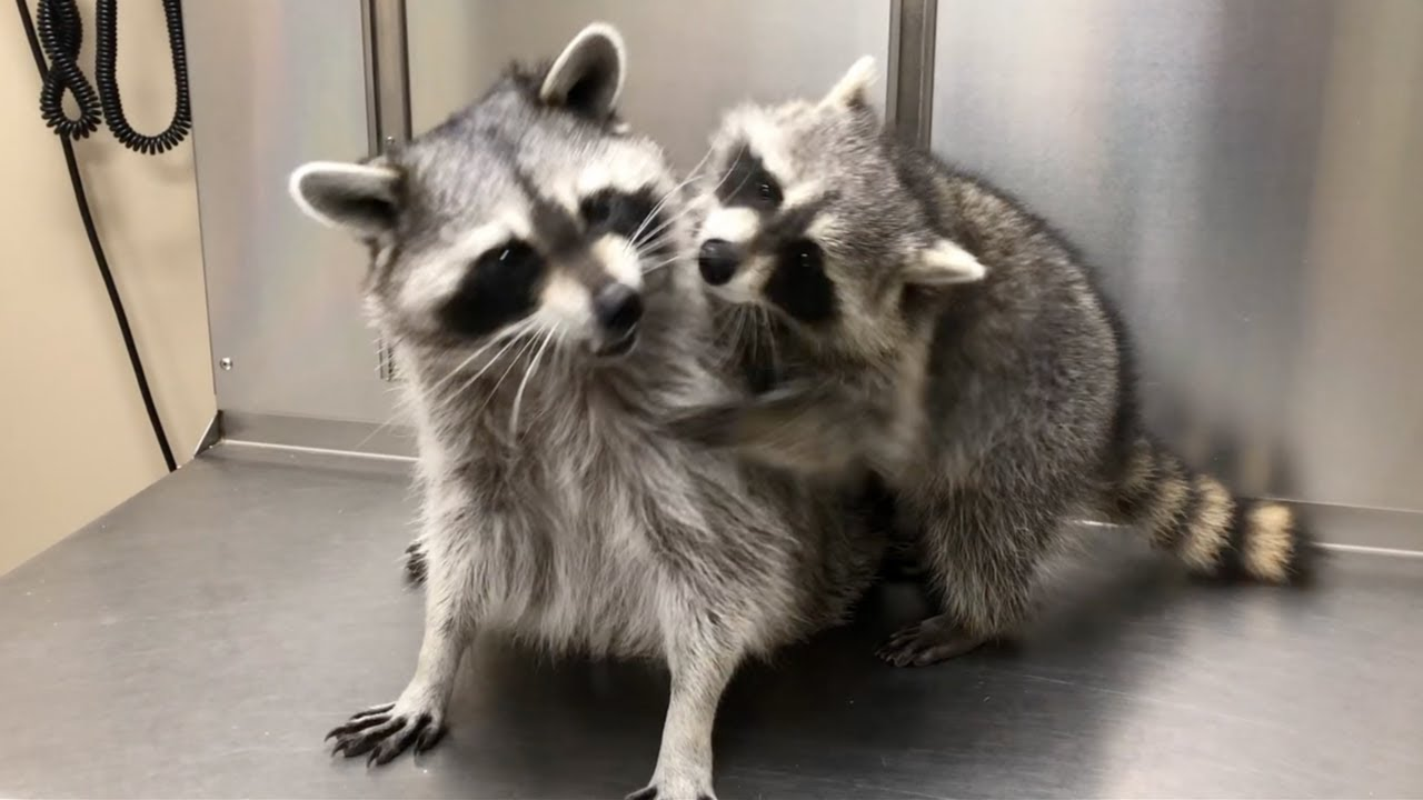 My pet raccoons meet for the first time! (Tito and Cheeto)